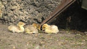 Vele leuke gele kippen Turkije levend in het kippenhuis stock footage