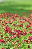 Vele levende rode bloemen Royalty-vrije Stock Afbeeldingen