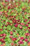 Vele levende rode bloemen Stock Foto