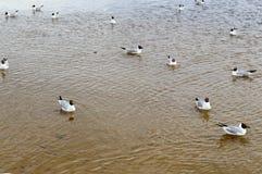 Vele meeuwen van eenden van vogels op het meer met geel troebel water op het strand op het strand stock afbeeldingen