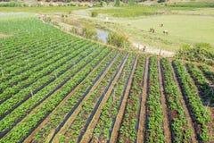 Vele mensen die aan groentengebied werken Royalty-vrije Stock Foto