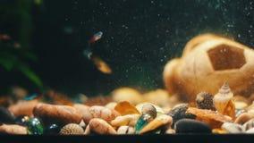 Vele mooie kleurrijke vissen met lange voilestaarten en boete in huisaquarium stock video