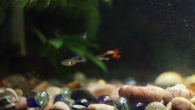 Vele mooie kleurrijke vissen met lange voilestaarten en boete in huisaquarium stock footage