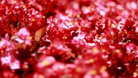 Vele mooie rode bloemen stock video