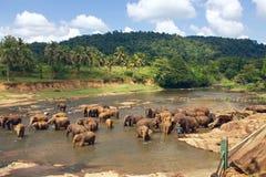 Vele olifanten die in de rivier baden Royalty-vrije Stock Foto
