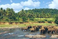 Vele olifanten die in de rivier baden Stock Afbeeldingen