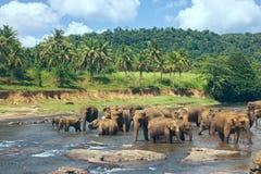 Vele olifanten die in de rivier baden Stock Fotografie