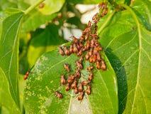 Vele oranje zwarte blad-betaalde insecten op de installaties - ongedierte in tuin stock afbeeldingen