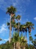 Vele palmen Stock Afbeeldingen
