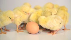 Vele pasgeboren kippen Stock Foto