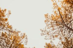 Vele Pijnboombomen die in bos uitgaan Stock Fotografie