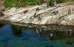 Pinguïnen in Alesund aquarium, Noorwegen Stock Foto