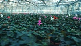 Vele potten met cyclaam bloeit, groeiend in een serre stock video