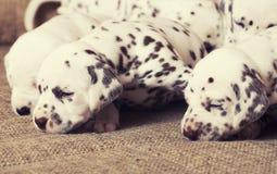 Vele puppy Dalmatische dichte omhoog pasgeboren Royalty-vrije Stock Afbeeldingen