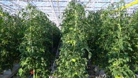 Vele rijen van verbonden tomaten in serre stock video