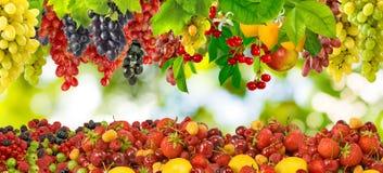 Vele rijpe bessen en fruittuin Stock Foto's