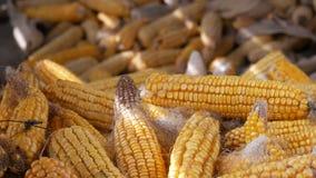 Vele rijpe gele graanhoofden in schuur Graan na Oogst van Maïs Landbouwproductie stock videobeelden