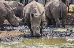 Vele rinoceros in de dierentuin Stock Foto's
