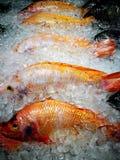 Vele robijnrode vissen in het ijs Royalty-vrije Stock Foto