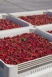 Vele rode rijpe kersen in een bak klaar om voor verkoop worden verpakt stock fotografie