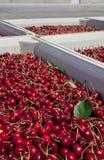 Vele rode rijpe kersen in een bak klaar om voor verkoop worden verpakt royalty-vrije stock afbeelding