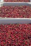 Vele rode rijpe kersen in een bak klaar om voor verkoop worden verpakt royalty-vrije stock afbeeldingen