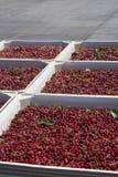 Vele rode rijpe kersen in een bak klaar om voor verkoop worden verpakt stock afbeelding