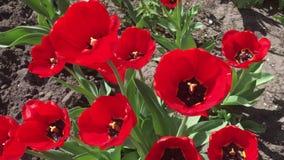 Vele rode tulpen stock footage