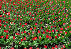 Vele rode tulpen op bloembed Stock Foto