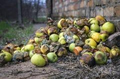 Vele rotte appelen liggen op de grond Stock Afbeelding
