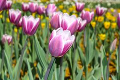 Vele roze en witte grote knoppen van tulpen royalty-vrije stock fotografie