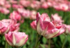 Vele roze tulpen op een tulpengebied royalty-vrije stock afbeelding