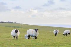 Vele sheeps op het landbouwbedrijf Stock Afbeeldingen