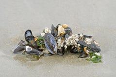 Vele shells op het zand Royalty-vrije Stock Afbeelding