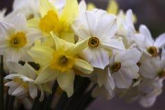 Vele soorten gele narcissen in een boeket, Gele, witte gele narcissen Stock Afbeelding
