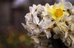 Vele soorten gele narcissen in een boeket, Gele, witte gele narcissen binnen Stock Foto's