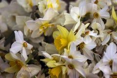Vele soorten gele narcissen in een boeket, Gele, witte gele narcissen binnen Royalty-vrije Stock Afbeeldingen