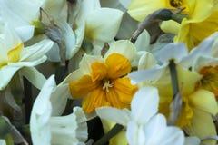 Vele soorten gele narcissen in een boeket, Gele, witte gele narcissen binnen Royalty-vrije Stock Foto