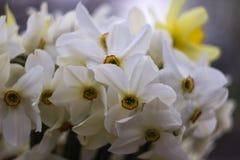 Vele soorten gele narcissen in een boeket, Gele, witte gele narcissen in de lente Royalty-vrije Stock Fotografie