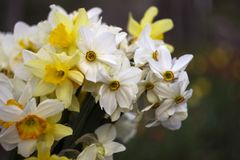 Vele soorten gele narcissen in een boeket, Gele, witte gele narcissen in de lente Royalty-vrije Stock Afbeeldingen