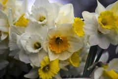 Vele soorten gele narcissen in een boeket, Gele, witte gele narcissen in de lente Stock Foto's