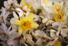 Vele soorten gele narcissen in een boeket, Gele, witte gele narcissen in de lente Royalty-vrije Stock Foto's
