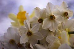 Vele soorten gele narcissen in een boeket, Gele, witte gele narcissen in de lente Stock Afbeelding
