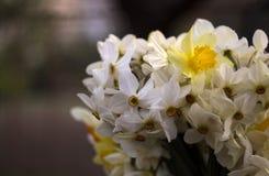Vele soorten gele narcissen in een boeket, Gele, witte gele narcissen in de lente Stock Afbeeldingen