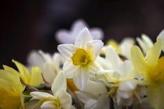 Vele soorten gele narcissen in een boeket, Gele, witte gele narcissen inMany soorten gele narcissen in een boeket, Gele, witte ge Royalty-vrije Stock Foto