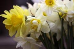 Vele soorten gele narcissen in een boeket, Gele, witte gele narcissen inMany soorten gele narcissen in een boeket, Gele, witte ge Royalty-vrije Stock Afbeeldingen