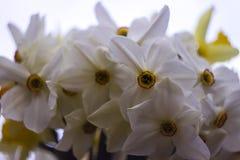 Vele soorten gele narcissen in een boeket, Gele, witte gele narcissen inMany soorten gele narcissen in een boeket, Gele, witte ge Stock Foto