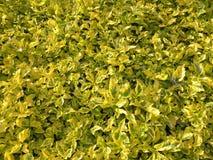 Vele trillende gele en groene kleurenbladeren van geschakeerde Euonymus-installaties Stock Foto