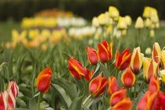 Vele Tulpen op Landtong Royalty-vrije Stock Fotografie