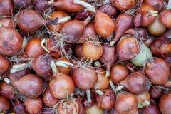 Vele uien zijn bruin in schil met ontsproten wortels royalty-vrije stock foto's
